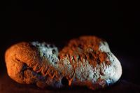 Trilobite · Artemyz, Claire · © Claire Artemyz
