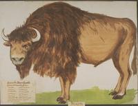 Bison, Aurochs fossile · Poitreau, Léon Auguste