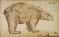 Ours des cavernes · Poitreau, Léon Auguste