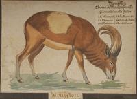 Moufflon, chèvre ou mouton fossile · Poitreau, Léon Auguste